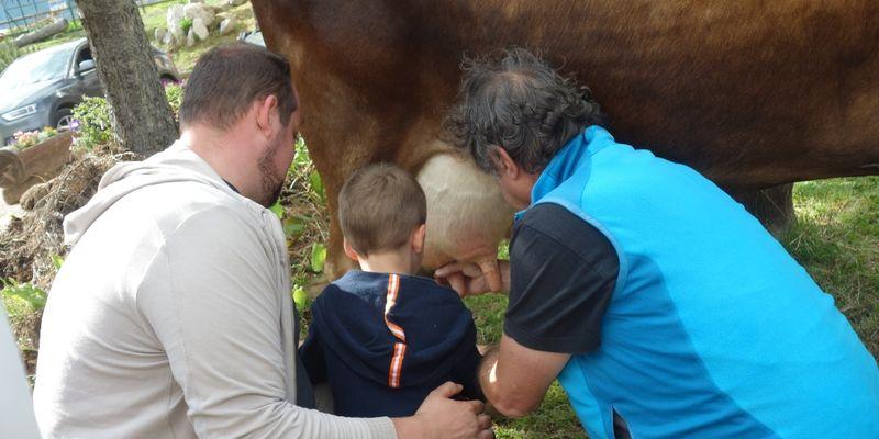 La mungitura delle mucche